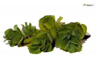 Büschelfarn XXL - Salvinia auriculata - Portion