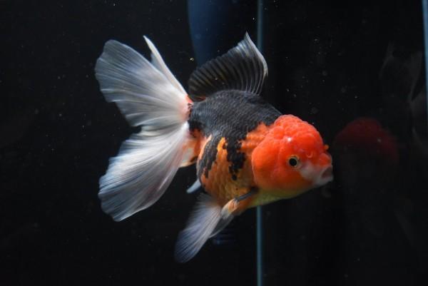 Oranda Tricolor - Carassius auratus auratus - 10-12 cm