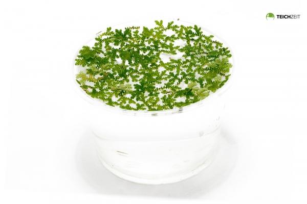 Algenfarn - Azolla filiculoides - Portion