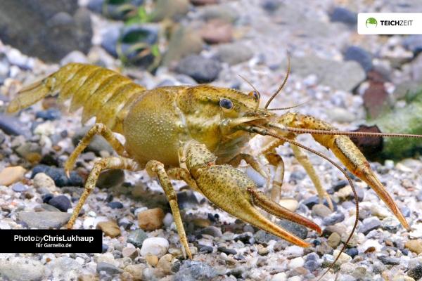 Galizischer Sumpfkrebs - Pontastacus leptodactylus