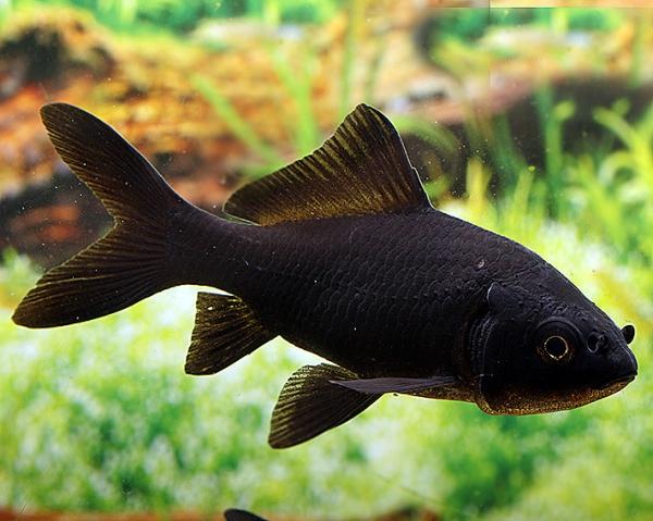 5 x Goldfisch schwarz - Carassius auratus auratus