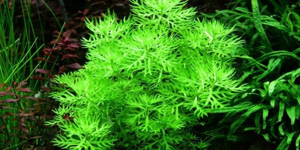 Wasserfeder - Hottonia palustris - Tropica Topf