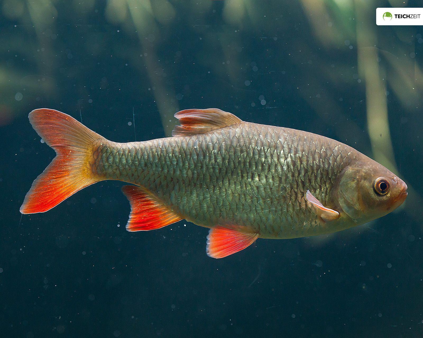 5 x rotfeder 8 10 cm scardinius erythrophthalmus for Teichfische algenfresser