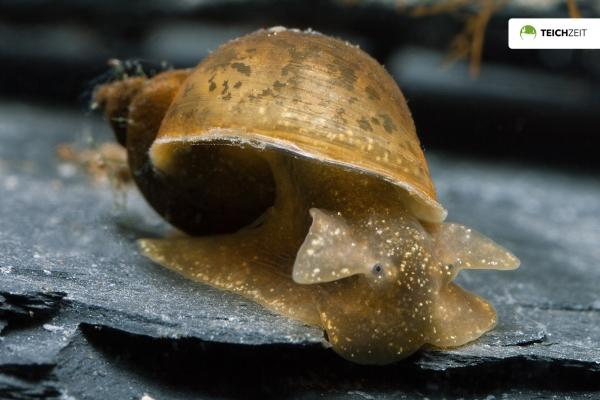 Yodaschnecke (Eiförmige Schlammschnecke) - Radix balthica