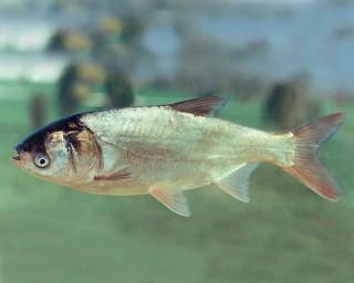 Silberkarpfen - Hypophthalmichthys molitrix