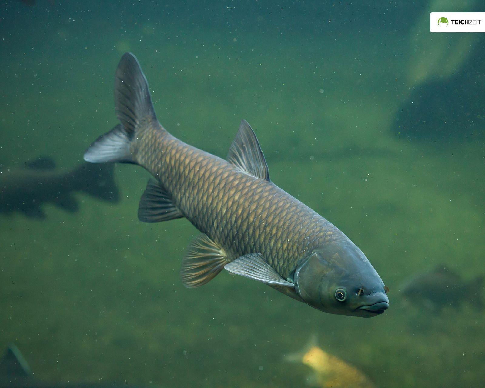 Schwarzkarpfen ctenopharyngodon idella for Teichfische schwarz