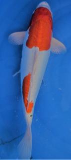 Kikusui 41 cm - Marusaka -