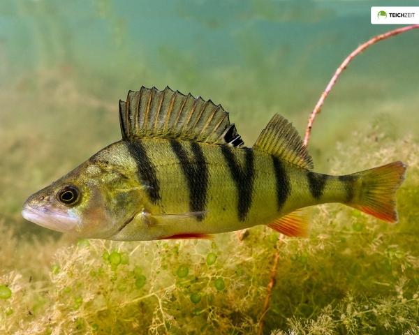 Flussbarsch - Perca fluviatilis