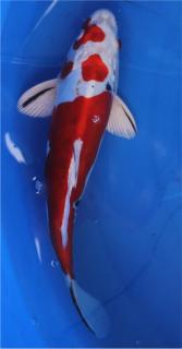 Yamatonishiki 29 cm - AOKI -