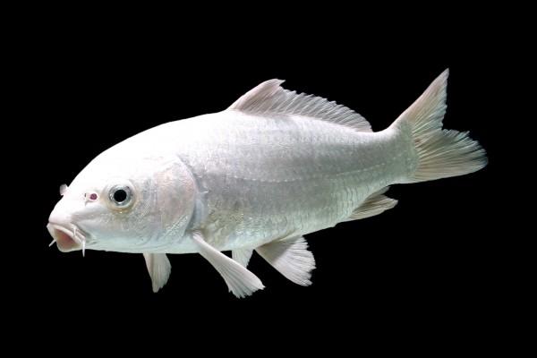 Koi Platin Ogon - weiß/glänzend - Premium Zuchtlinie