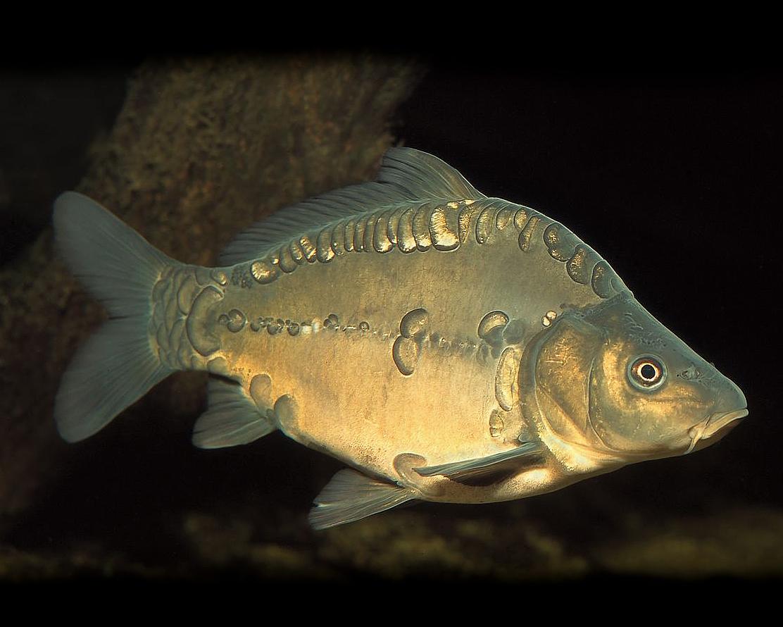 3 x spiegelkarpfen cyprinus carpio for Teichfische algenfresser