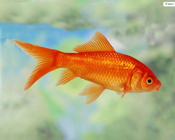 5 x Goldfisch - Carassius auratus auratus