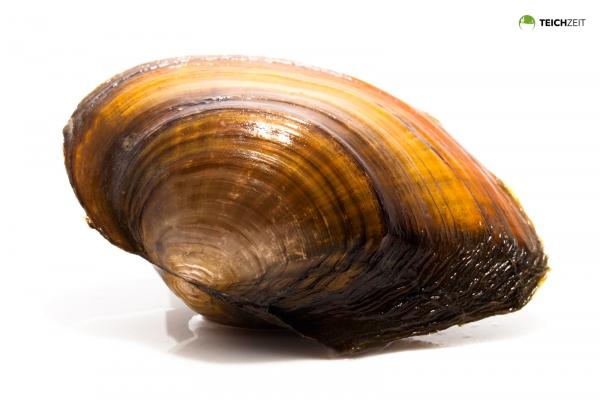 Teichmuschel groß - Unio pictorum