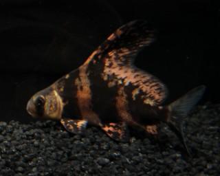 Wimpelkarpfen - Myxocyprinus asiaticus