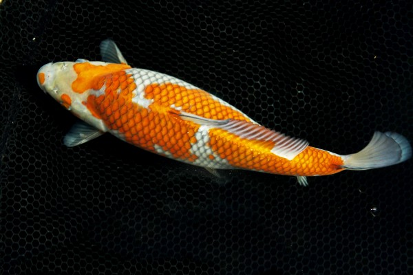 Koi Ochiba Shigure - orange/silber - Premium Zuchtlinie