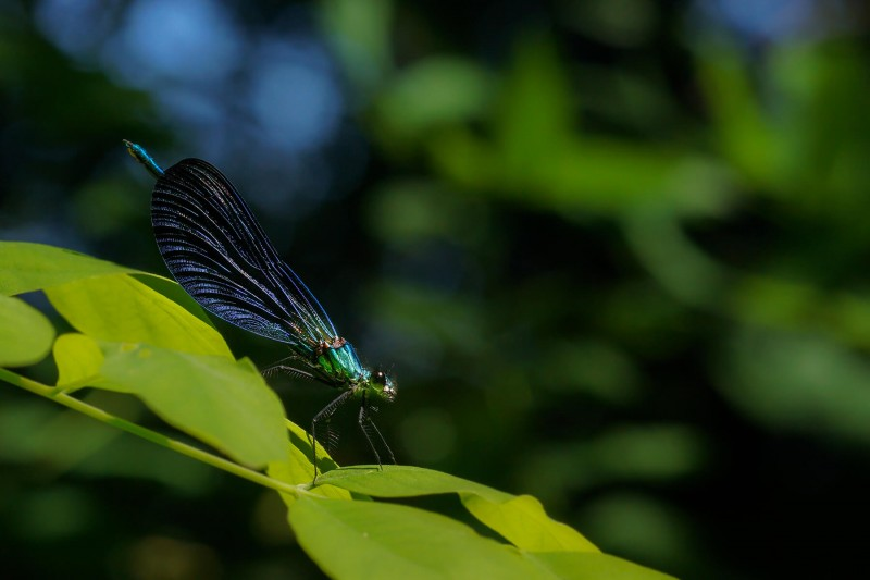 libelle1