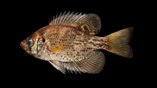 Pfauenaugen Barsch - Centrarchus macropterus - 6-8 cm