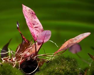 Roter Tigerlotus - XL - Nymphaea lotus rubra