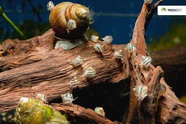 Sumpfdeckelschnecke Jungtier - Viviparus viviparus