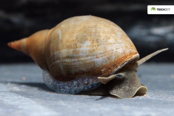 Spitzschlammschnecken - Lymnaea stagnalis