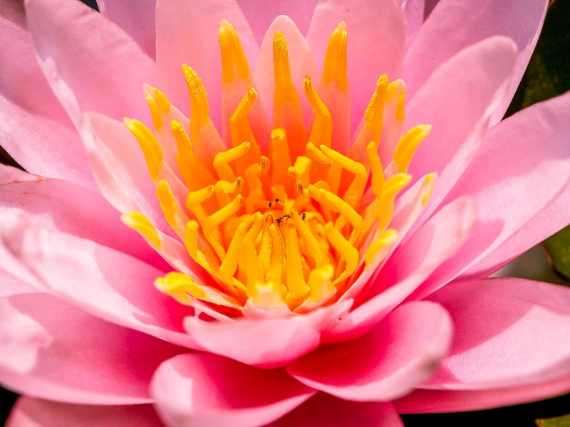 nature-lotus-bloom-blossom-flora-flower-1441097-pxhere-com