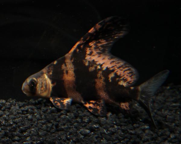 Wimpelkarpfen myxocyprinus asiaticus for Teichfische algenfresser