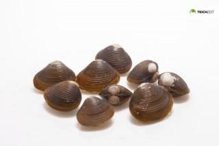 Körbchenmuschel - Corbicula sp.