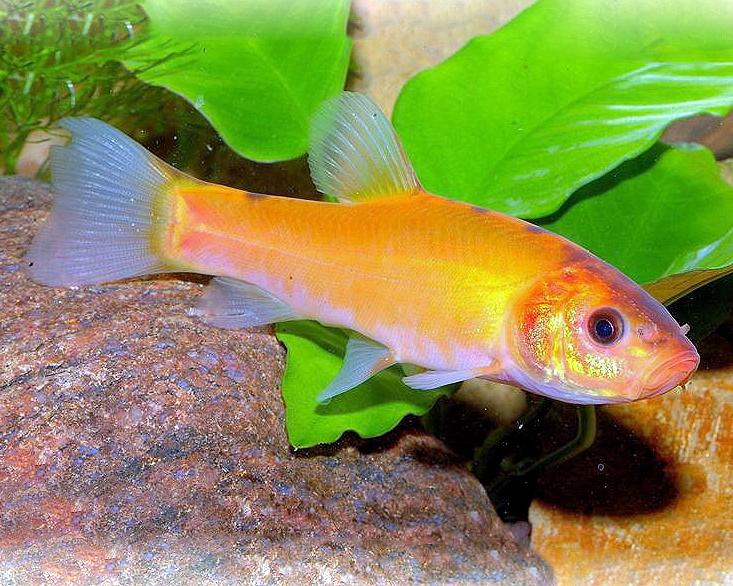 3 x goldschleie tinca tinca for Teichfische algenfresser