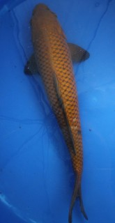 Chagoi 44 cm - Oofuchi -