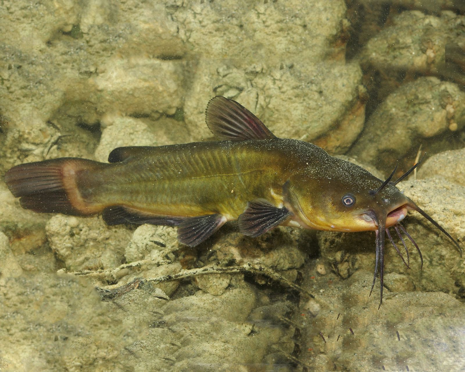2 x zwergwels ameiurus nebulosus for Teichfische algenfresser