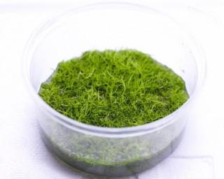 Grasartiger Wasserschlauch - Utricularia graminifolia, InVitro Becher