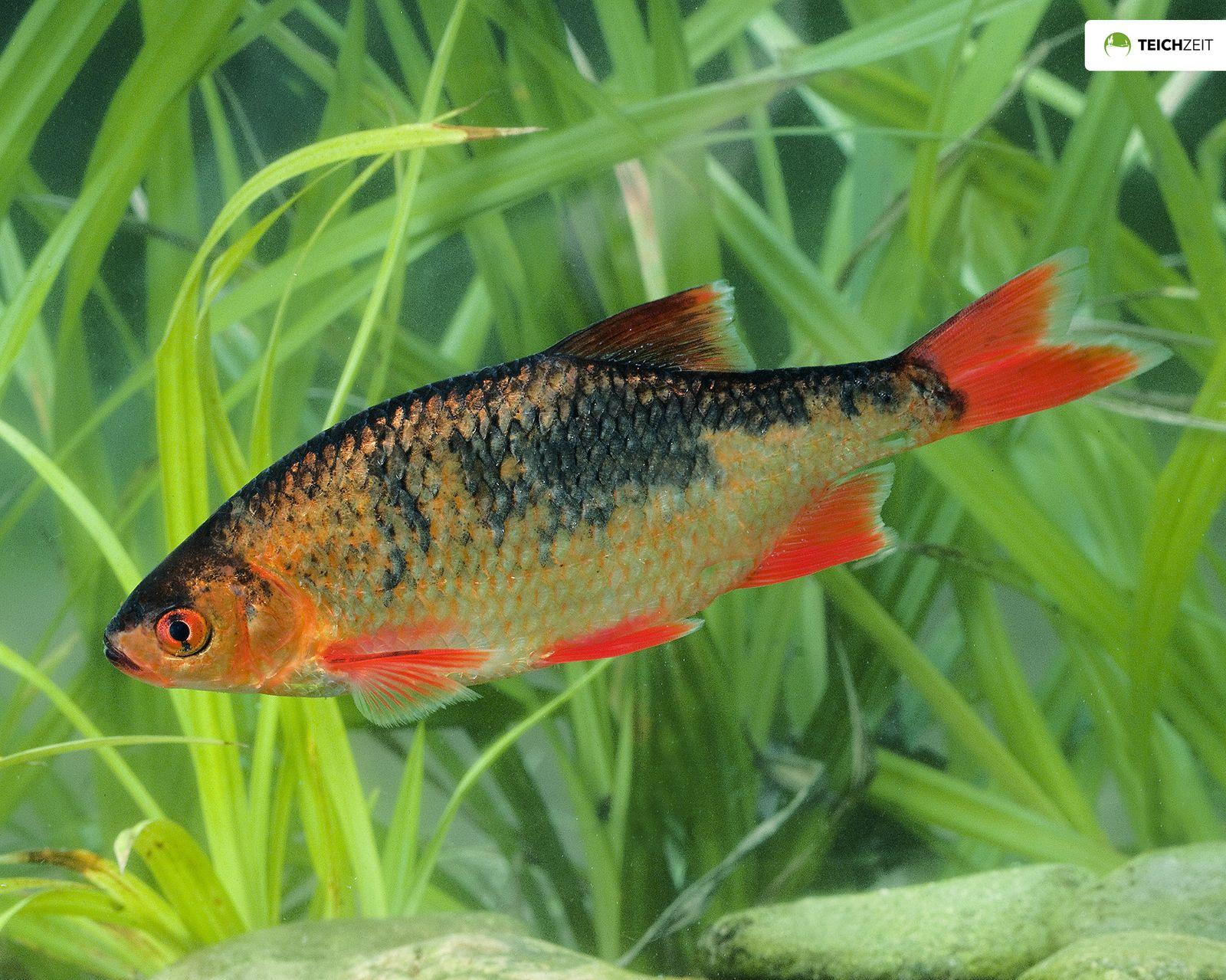Goldrotfeder scardinius erythrophthalmus for Teichfische algenfresser