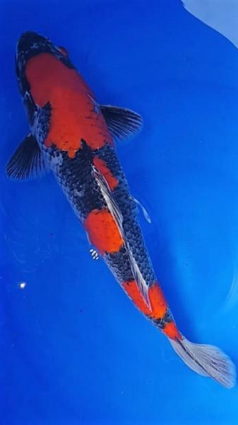"""Goshiki """"dark"""" 40 cm - Hosokai - """"Selected Koi"""""""