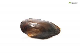 Teichmuschel klein - Unio pictorum