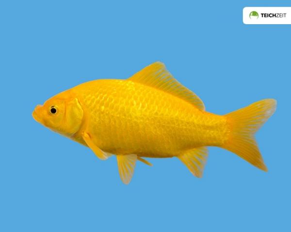 5 x Goldfisch gelb - Carassius auratus auratus
